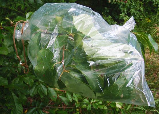 Добыча воды с растений в пакет